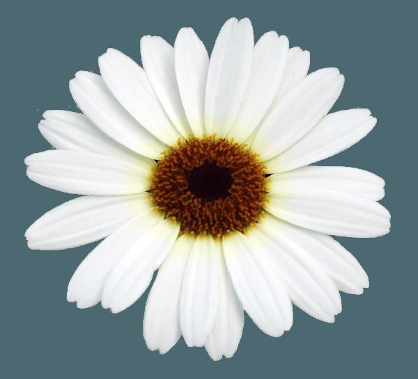 GRANDAISY® Argyranthemum